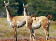 conservación guanaco